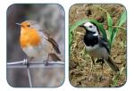 Rotkehlchen Bachstelze Vögel Vogelsprache Wurzeltrapp Wildnisschule