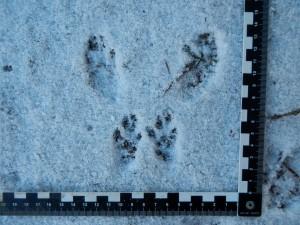 Trittsiegel Spurgruppe - Eichhörnchen - Wildtiere und Fährtenkunde - Wurzeltrapp Wildnisschule