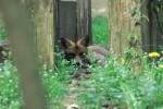 Der Fuchs - Wildtiere und Fährtenkunde Wurzeltrapp Wildnisschule