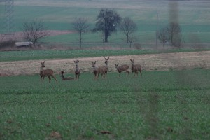 Das Reh Ein Sprung Rehe Wildtiere und Fährtenkunde Wurzeltrapp Wildnisschule