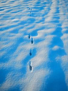 Trittsiegel Spur Fußabdruck vom Hase - Wildtiere und Fährtenkunde Wurzeltrapp Wildnisschule