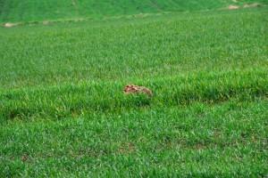 Hase in der Sasse - Wildtiere und Fährtenkunde Wurzeltrapp Wildnisschule
