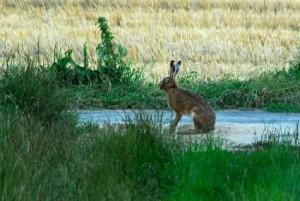 Der Hase - Wildtiere und Fährtenkunde Wurzeltrapp Wildnisschule