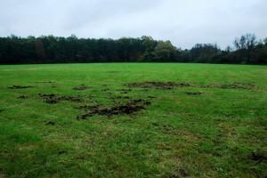 Wildschwein auf Nahrungssuche - Gebrochene Wiese - Wildtiere und Fährtenkunde