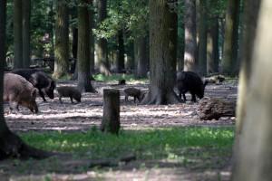 Eine Rotte Wildschweine - Wildtiere und Fährtenkunde Wurzeltrapp Wildnisschule