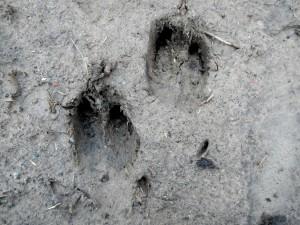 Trittsiegel Spuren Fußabdruck vom Wildschwein - Wildtiere und Fährtenkunde