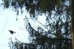 Vogelsprache: Alarmform
