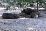 Wildschweine - was tun wenn die Bache angreift