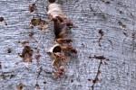 Hornissen - wie gefährlich sind sie