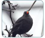 Amsel Vögel Vogelsprache Wurzeltrapp Wildnisschule