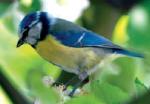 Blaumeise Vögel Vogelsprache Wurzeltrapp Wildnisschule