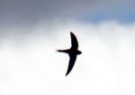 Schwalbe Vögel Vogelsprache Wurzeltrapp Wildnisschule
