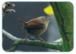 Zaunkönig Vögel Vogelsprache Wurzeltrapp Wildnisschule