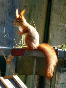 Das Eichhörnchen - Wildtiere und Fährtenkunde - Wurzeltrapp WIldnisschule