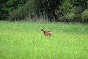 Das Reh Wildtiere und Fährtenkunde Wurzeltrapp Wildnisschule