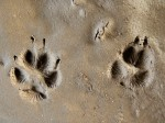 Trittsiegel Fuchs - Wildtiere und Fährtenkunde Wurzeltrapp Wildnisschule