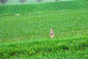 Hase schlägt Haken rennt - Wildtiere und Fährtenkunde Wurzeltrapp Wildnisschule