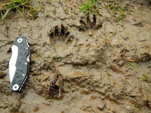 Trittsiegel Spuren Fußabdrücke vom Waschbär - Wildtiere und Fährtenkunde Wurzeltrapp Wildnisschule