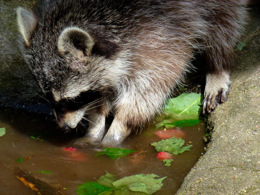 Der Waschbär – Wildtiere und Fährtenkunde