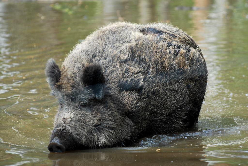 Das Wildschwein – Wildtiere und Fährtenkunde
